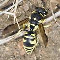 Hole-Searching Wasp - Stenodynerus
