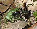 Wasp & Katydid - Isodontia apicalis