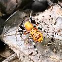 Castianeira amoena