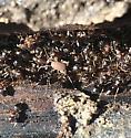 ant cricket in Missouri - Myrmecophilus pergandei - male