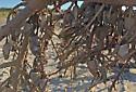 Pelagic Goose Barnacle - Lepas