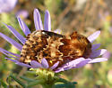 Northern Flower Moth - Schinia septentrionalis