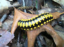 Black and Yellow Millipede - Apheloria