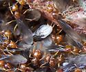 Emerging Ants - Lasius interjectus