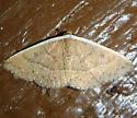White-edged Moth - Oruza albocostata