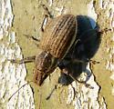 Weevil? - Naupactus leucoloma