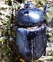 Unknown Beetle - Xyloryctes thestalus