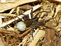 Wolf spider with egg case - Pardosa - female