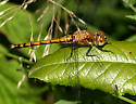 Black Meadowhawk - Sympetrum danae - female