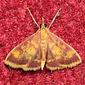 Pyrausta acrionalis