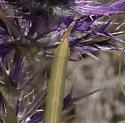 large stick-like mantis - tip of abdomen - Brunneria borealis - female