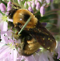 large bumble bee - Bombus nevadensis