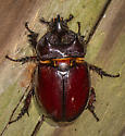 Ox Beetle ID request - Strategus - male
