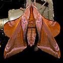 Huckleberry Sphinx - Hodges#7826 - Paonias astylus