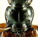 Bembidion (Plataphus) rusticum rusticum Casey, 1918  - Bembidion rusticum