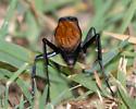 One of the Pepsis spider wasps - Hemipepsis ustulata - female