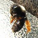 Long Horned Bee - Eucera fulvitarsis