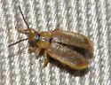 beetle - Neogalerucella calmariensis