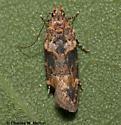 Moth - Friseria nona