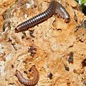 Millipede - Cylindroiulus caeruleocinctus