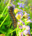 Saltmarsh Caterpillar  - Estigmene acrea