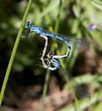 Enallagma - male - female