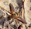 Bee fly - genus Villa? - Exoprosopa