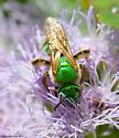 bee - Agapostemon