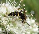 Wasp - Philanthus bilunatus