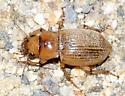 Beetle - Geopinus incrassatus