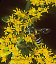 302819 Andrena - Andrena
