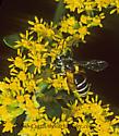 302819 Andrena - Andrena nubecula