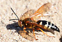 Eastern Cicada Killer 1 - Sphecius speciosus - female