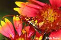 Flower Longhorn - Strangalia virilis