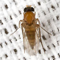 Ant-decapitating Fly - Apocephalus - female