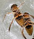 Corixidae melting from ice