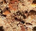 Ant - Dorymyrmex
