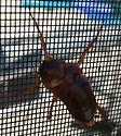 Insect - Periplaneta americana