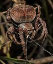 Front Yard Spider - Araneus andrewsi - female