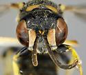 Hymenoptera - Cerceris