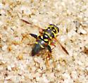 Syrphidae - Meromacrus acutus