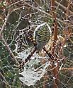 type of garden spider - Argiope trifasciata
