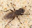 wrack fly - Orygma luctuosum