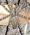 Large spider #2 - Dolomedes albineus