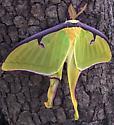 Luna Moth - Actias luna