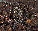 Millipede or Centipede - Harpaphe