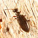 Antlike Flower Beetle - Sapintus pubescens