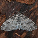 Unknown Moth - Lobophora