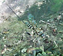 Large black-and-white wasp - Arotes amoenus - female