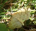 Ironweed root borer moth? - Polygrammodes flavidalis